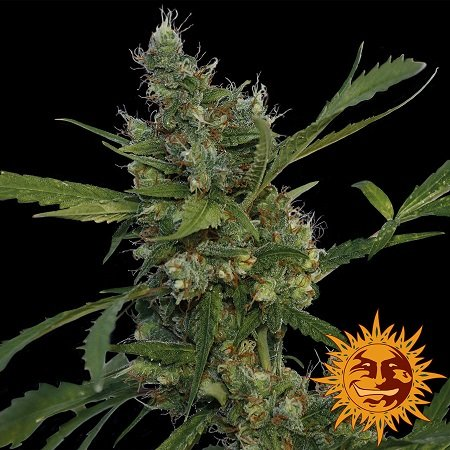 Barney's Farm Seeds Morning Glory Feminized