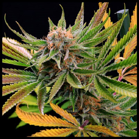 TGA Subcool Seeds Mothertongue Regular