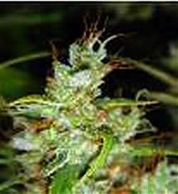Medical Seeds 2046 Feminized PICK N MIX