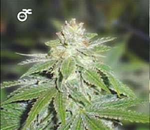 Medical Seeds Devil Fruit Feminized PICK N MIX