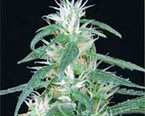 Medical Seeds Jack La Mota Feminized PICK N MIX