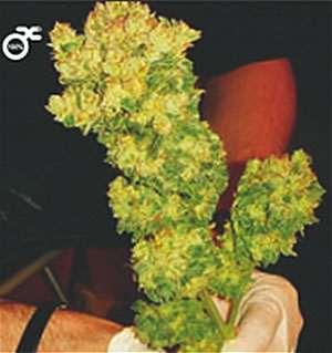 Medical seeds Sour Diesel Feminised (PICK N MIX)