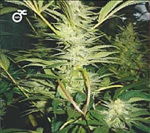 Medical Seeds White Widow Feminized PICK N MIX