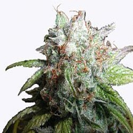 Next Generation Seeds Romulan Diesel Feminized
