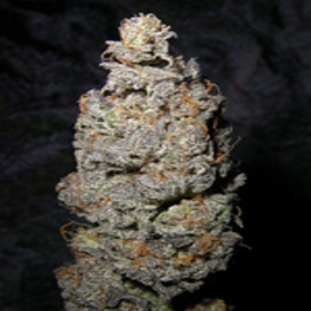 Next Generation Seeds Grapegod Regular