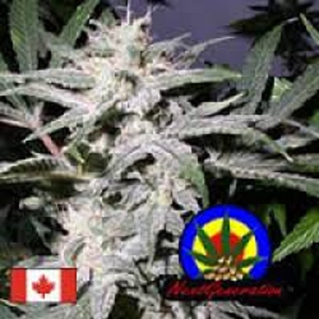 Next Generation Seeds Lebanese x Skunk #1 Regular