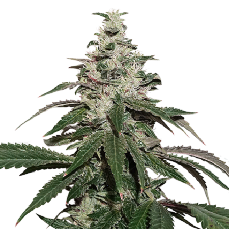Seed Stockers Seeds Nicole Cream Auto Feminized