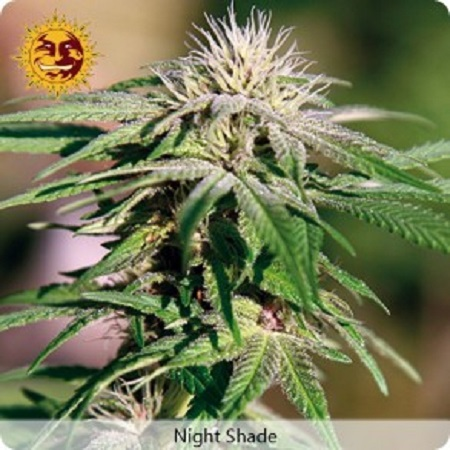 Barney's Farm Seeds Night Shade Feminized