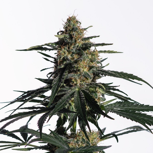 Medical Marijuana Genetics Nightingale (NN-1) Feminized (PICK N MIX)