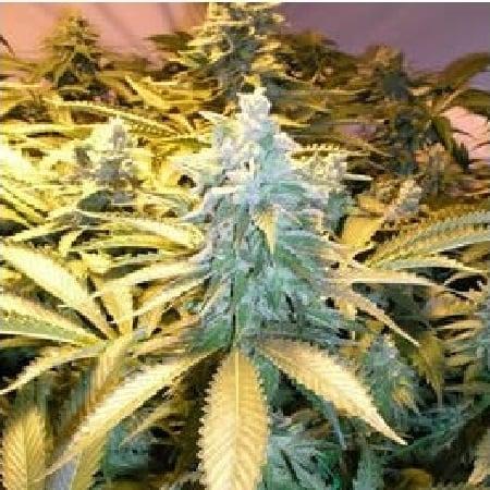 Nirvana Seeds Snow White Regular