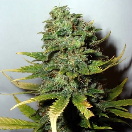 Nirvana Seeds Super Skunk Regular