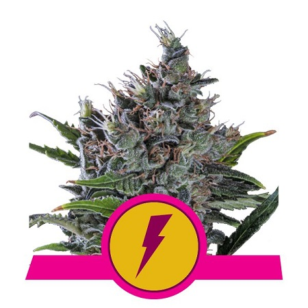 Royal Queen Seeds North Thunderfuck Feminized (PICK NMIX)