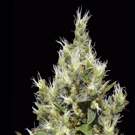 CBD Seeds Northern Feminized