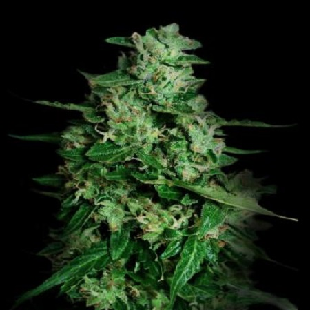 VIP Seeds Northern Delights Auto Feminised