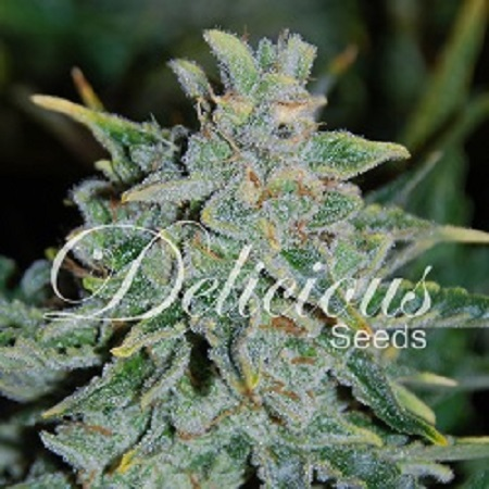 Delicious Seeds Northern Light Blue Auto Feminized