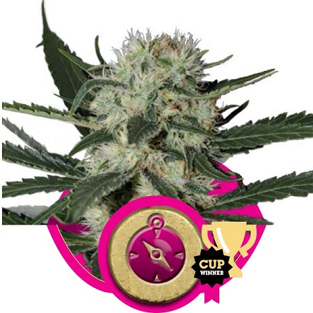 Royal Queen Seeds Northern Light Feminized