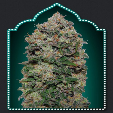 OO Seeds Northern Lights Feminized