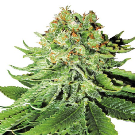 White Label Seed Company Northern Lights Automatic Feminized