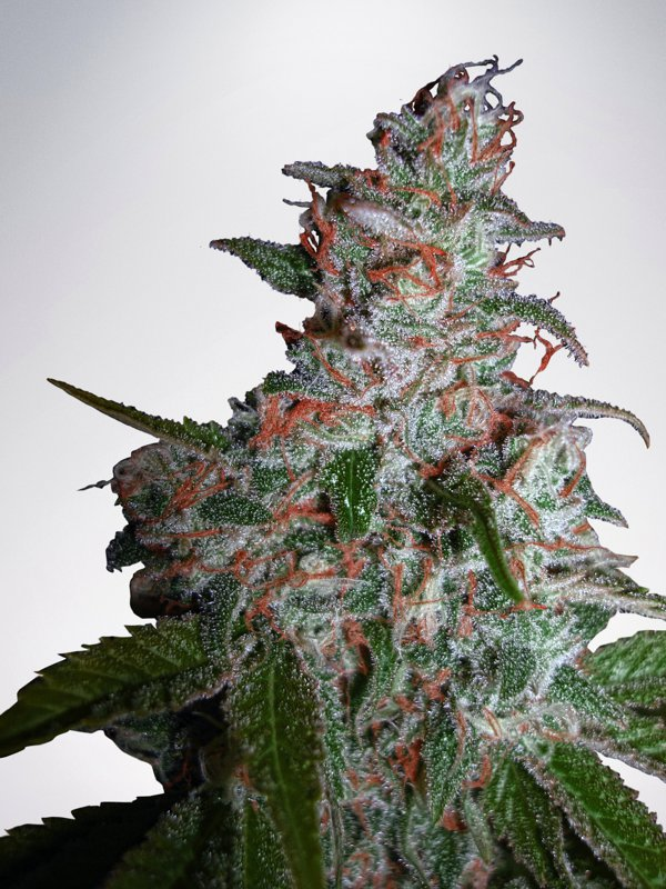 Ministry of Cannabis Seeds Northern Lights MOC Feminized