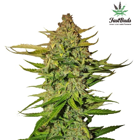 FastBuds Seeds Northern Express Auto Feminised
