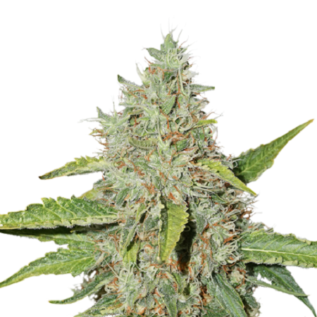 Seed Stockers Seeds Northern Lights Auto Feminized
