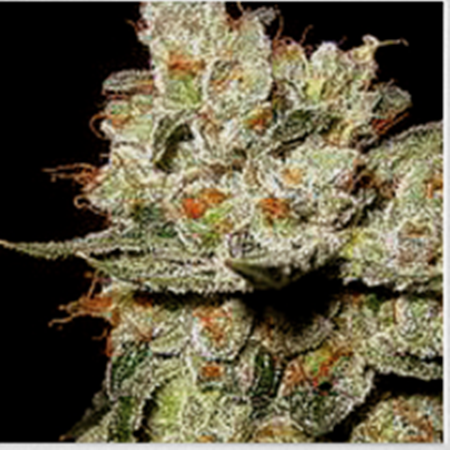 BlimBurn Seeds OG's Kush Feminized