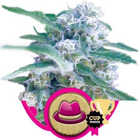 Royal Queen Seeds OG Kush Feminized