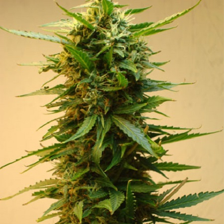 Shortstuff Seeds Onyx Auto Feminized