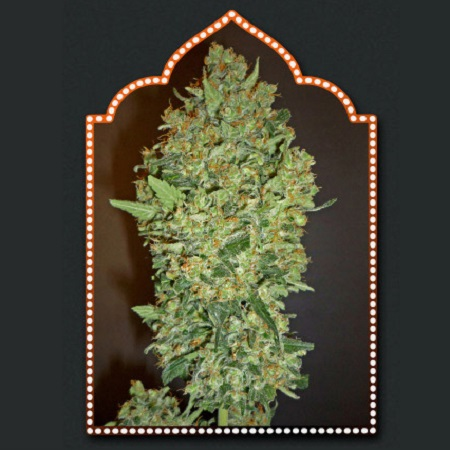 OO Seeds Cheese Berry Feminized