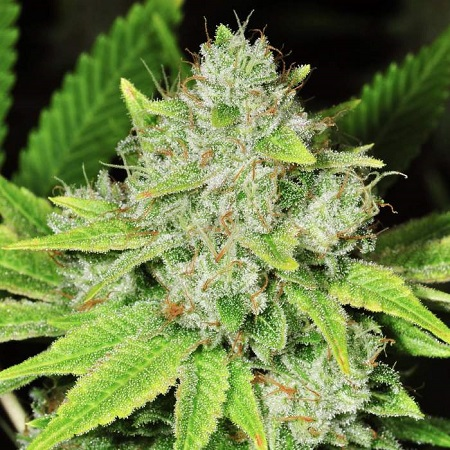 Nirvana Seeds Original Glue Feminized