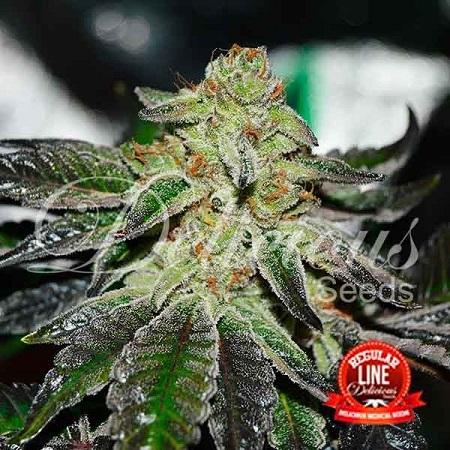 Delicious Seeds Original Juan Herer Regular