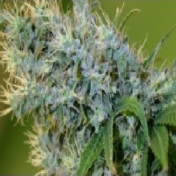 Centennial Seeds Otto #1 Regular
