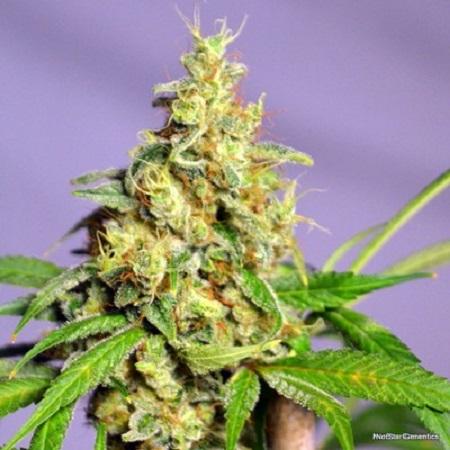 NorStar Genetics Seeds Panama Jack Regular