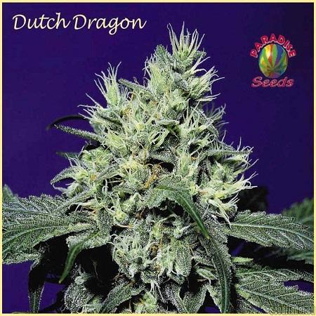 Paradise Seeds Dutch Dragon Regular