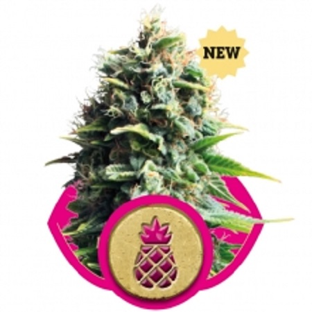 Royal Queen Seeds Pineapple Kush Feminized