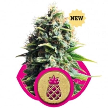 Pineapple Kush – Feminized – Royal Queen Seeds