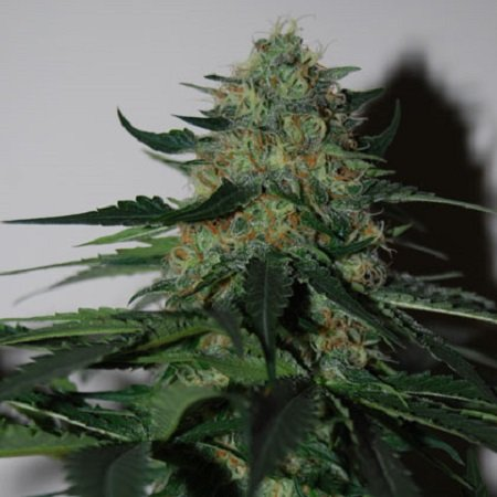 Black Skull Seeds Pineapple Gum Feminized