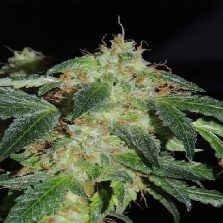 Karma Genetics Seeds Polar Bear Regular