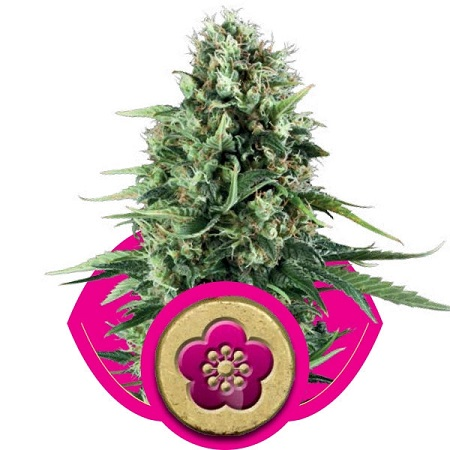 Royal Queen Seeds Power Flower Feminized