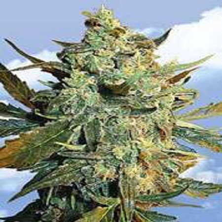 Flying Dutchmen Seeds Power Skunk Feminized