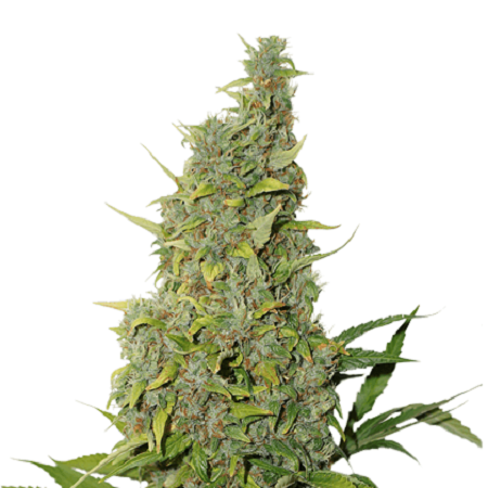 Seed Stockers Seeds BCN Power Plant Feminized