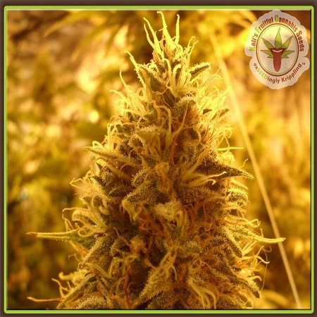Dr Krippling Seeds Puff Puff Pass Out Feminized