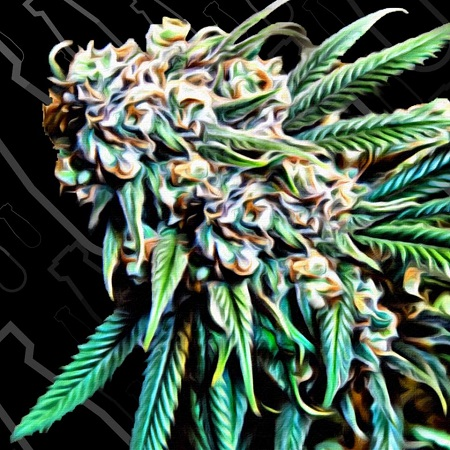 Critical Mass Collective Seeds Psychotropic Mass Feminized