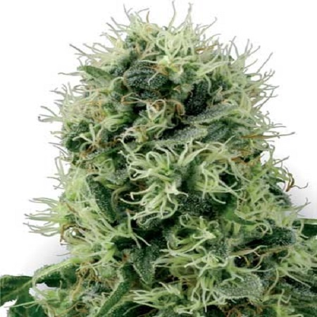 White Label Seed Company Pure Power Plant Feminized