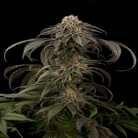 Dinafem Seeds Purple Afghan Kush Feminized