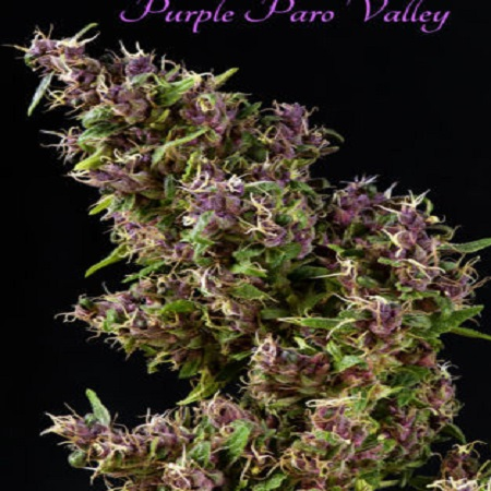 Mandala Seeds Purple Paro Valley Feminized