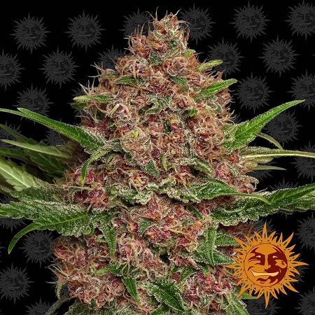 Barney's Farm Seeds Purple Punch Auto Feminized (PICK N MIX)