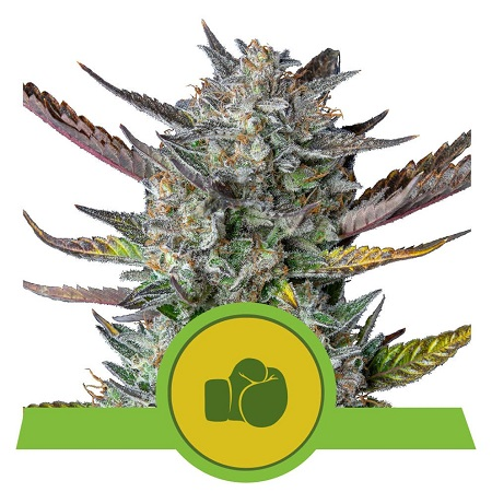 Purple Punch Auto - Feminized - Royal Queen Seeds