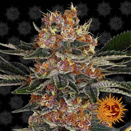 Barney's Farm Seeds Purple Punch Feminized (PICK N MIX)