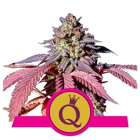 Purple Queen - Feminized - Royal Queen Seeds